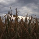 Ripple Effect | The Collateral Damage Of Rising Corn Prices