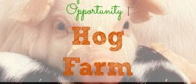 Unique Investment Opportunity, hog farm, pigs