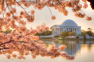 Cherry Blossoms Washington DC